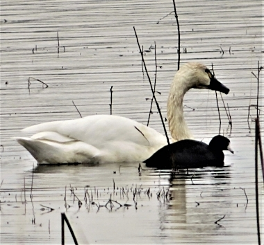 Tundra Swan and Coot on Wander Nature