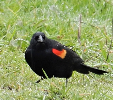 Red-winged Blackbird on Wander Nature
