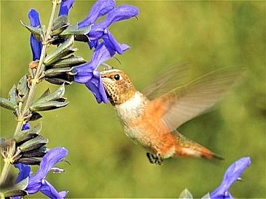 Hummingbird on Wander Nature