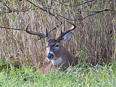 Buck on Wander Nature