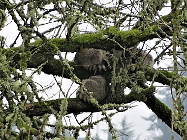 Raccoons on Wander Nature