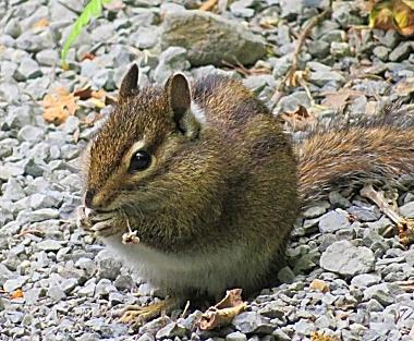 Chipmunk on Wander Nature