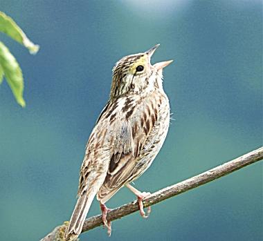Savannah Sparrow on Wander Nature
