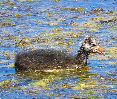 Coot Duckling on Wander Nature
