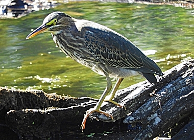 Green Heron on Wander Nature