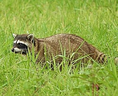 Raccoon on Wander Nature