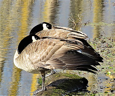 Canada Geese on Wander Nature