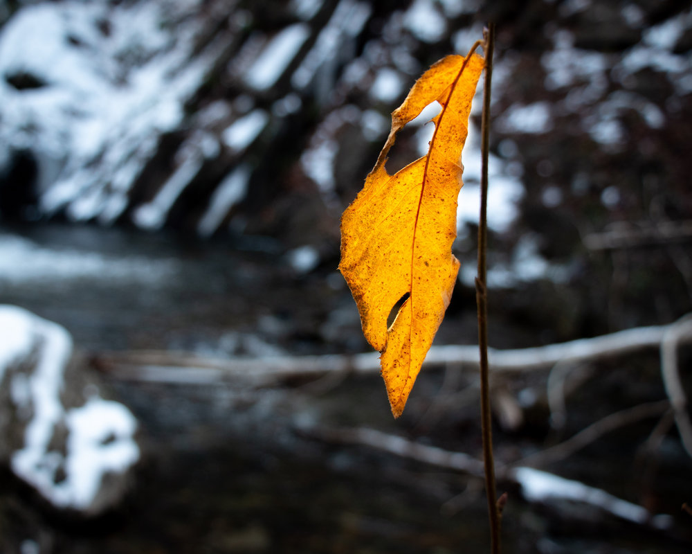 Fall Leaf at Moores Falls