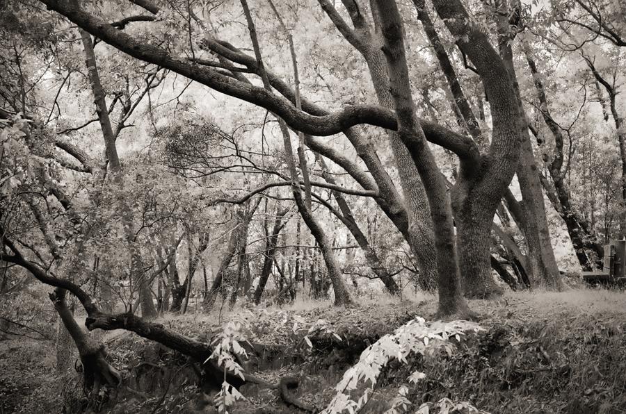 Forest-misty-light-bw-VI_sm.jpg