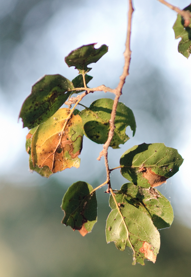 oak-leaves-infested_sm.jpg