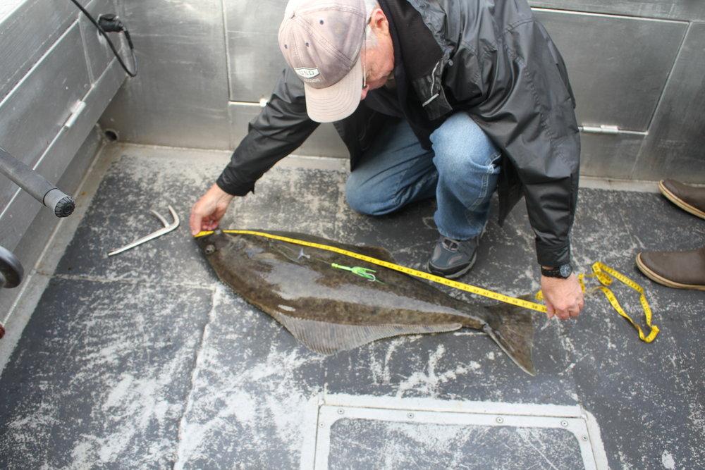 Author measuring halibut.
