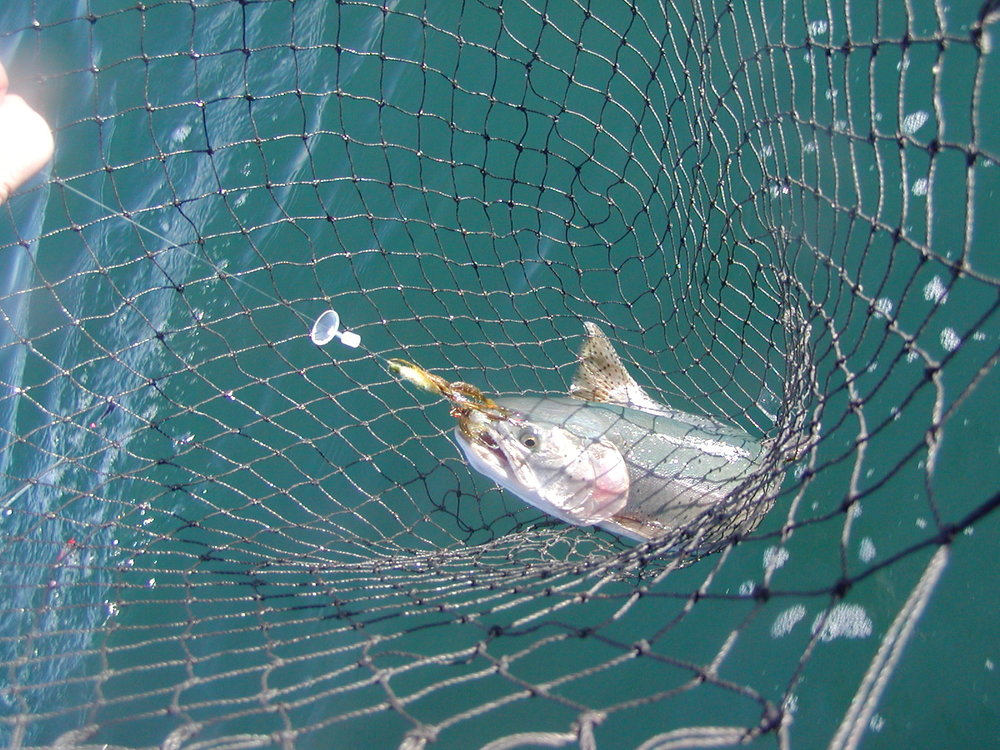 Fish in net tandem tui.JPG