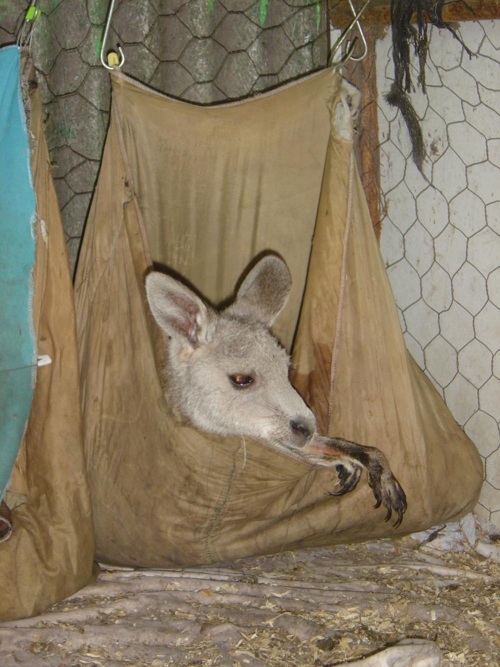 Baby Kangaroo (8).JPG