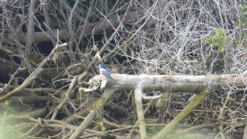 Newly fledged Belted Kingfishers on Fort Bragg's Noyo River