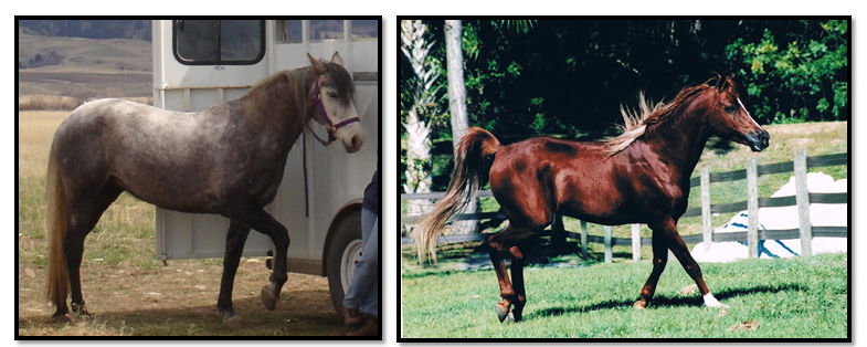 Insulin resistance equine metabolic syndrome.jpg