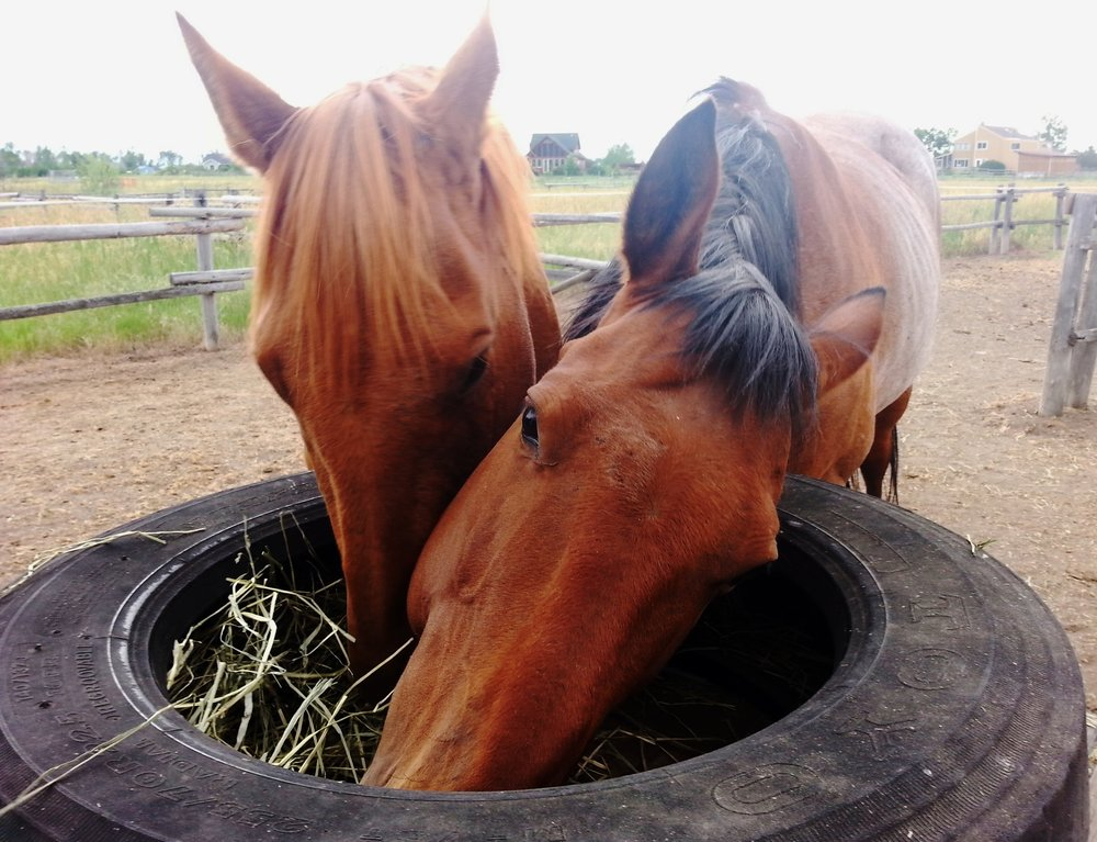 These two rescued horses happily- and safely- eating small, frequent meal of grass hay