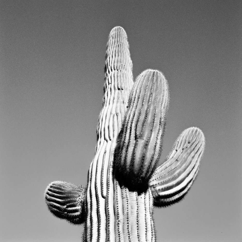SONORAN SAGUARO.  INTERSTATE 10, ARIZONA.
