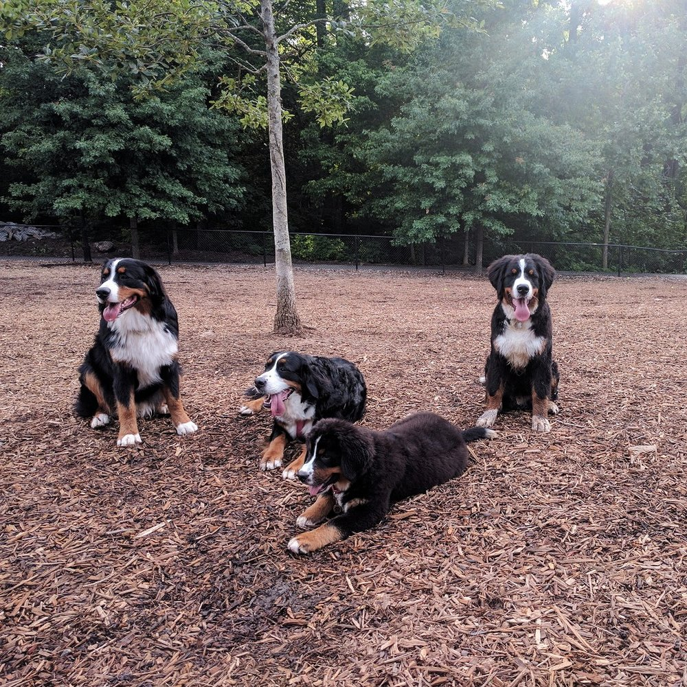 Hondo had a playdate with some area Berners in ATL!