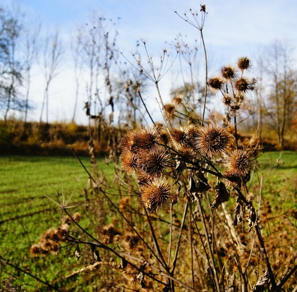 The Burrs of Burdock. Recognize these?