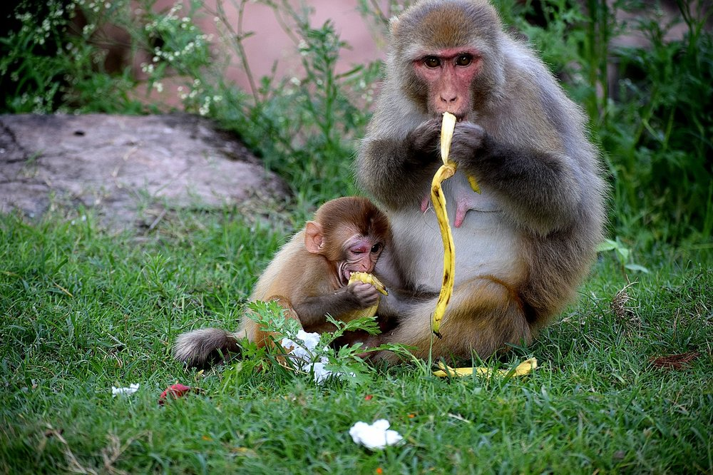 monkey with banana and baby.jpg