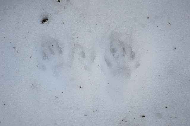 Squirrel+1+footprints.jpg
