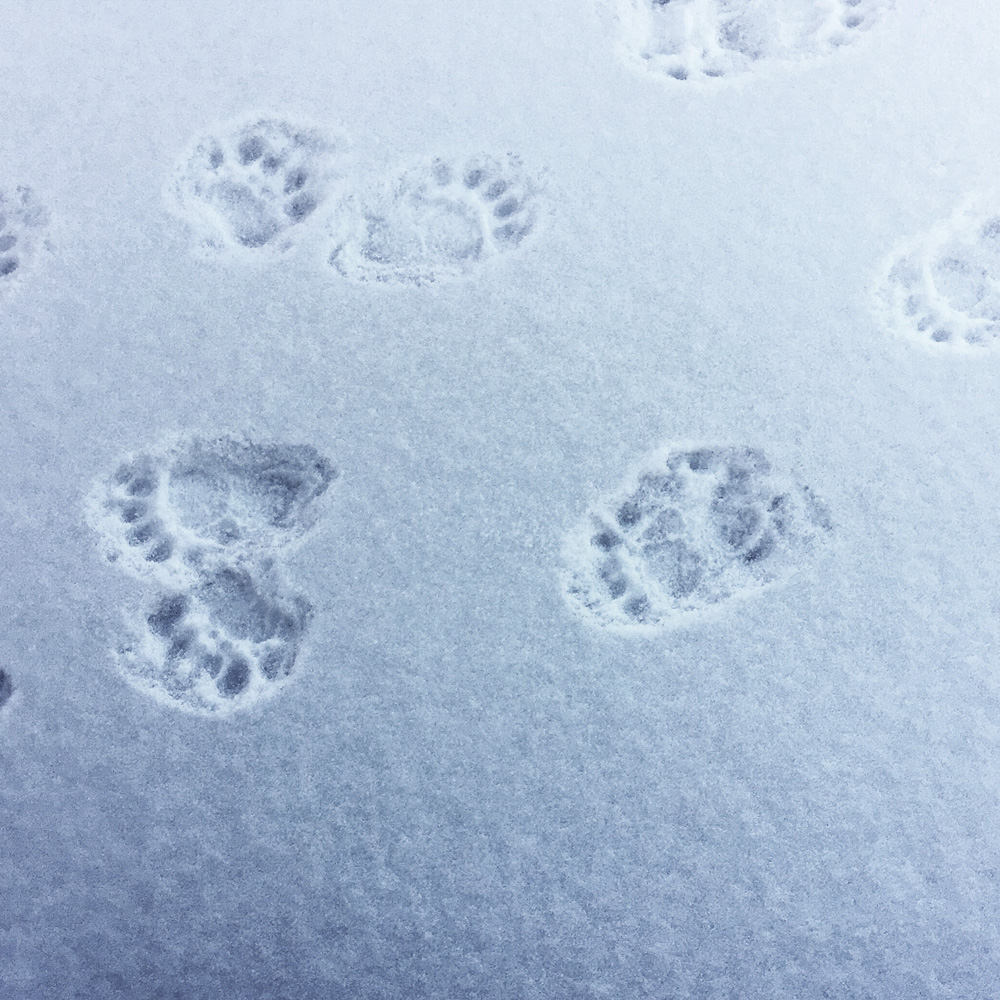black bear tracks | photo by Phoebe Stout