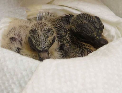 Mourning Dove Nestlings