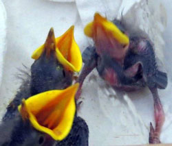 Starling nestlings -- notice the distinctive large orange mouth.