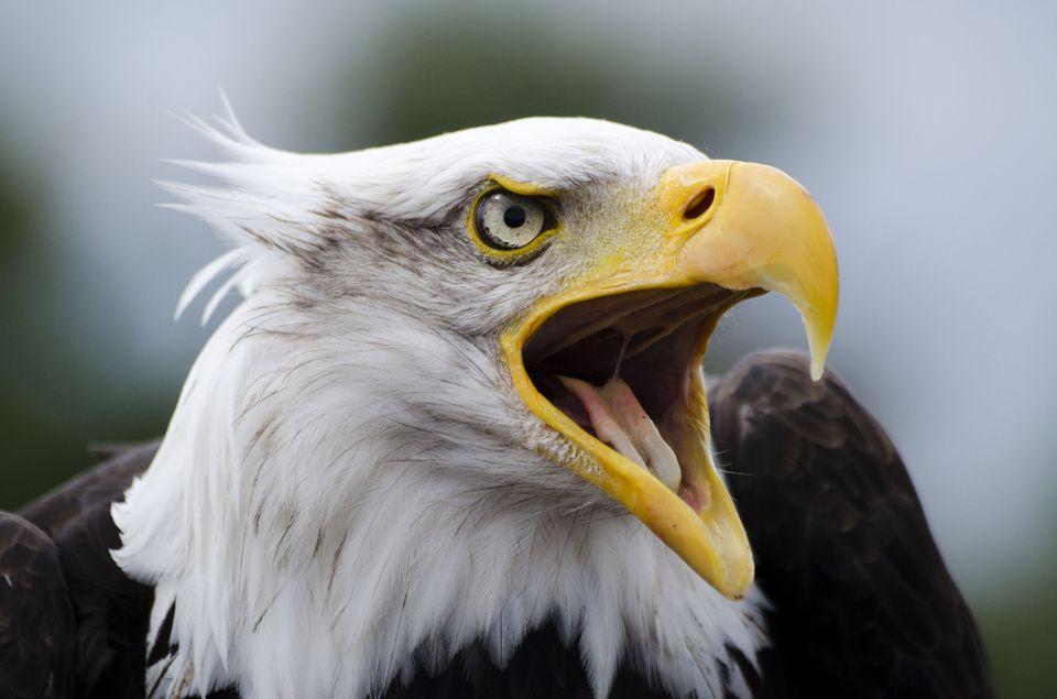 January, Bald Eagle