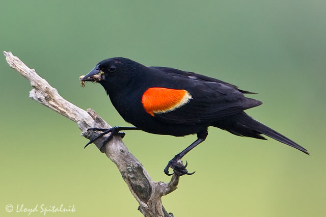 March, Red-winged Blackbird