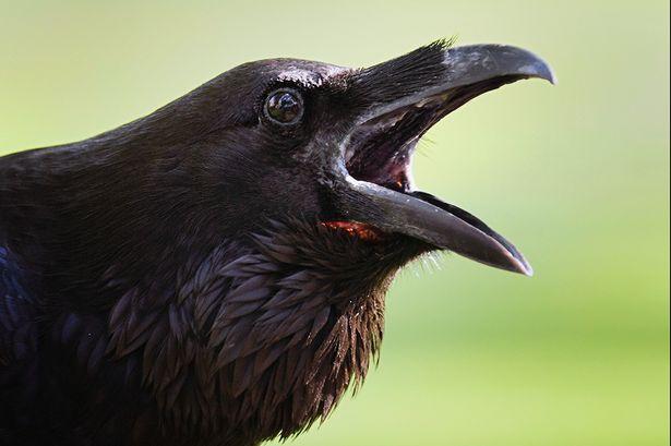 November, American Crow