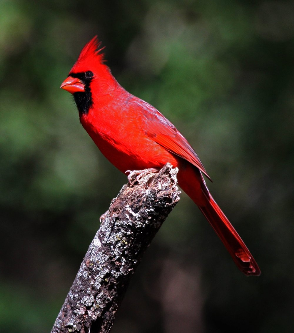 February, Northern Cardinal