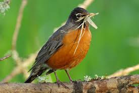 May, American Robin
