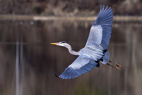 August, Great Blue Heron