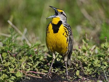 July, Eastern Meadowlark