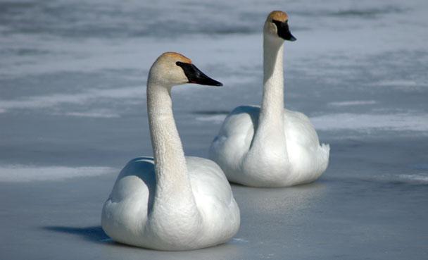 April, Trumpeter Swan