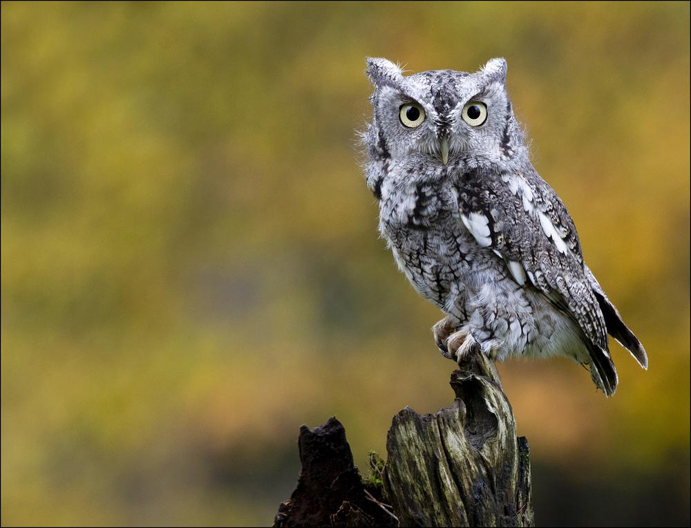 December, Eastern Screech Owl