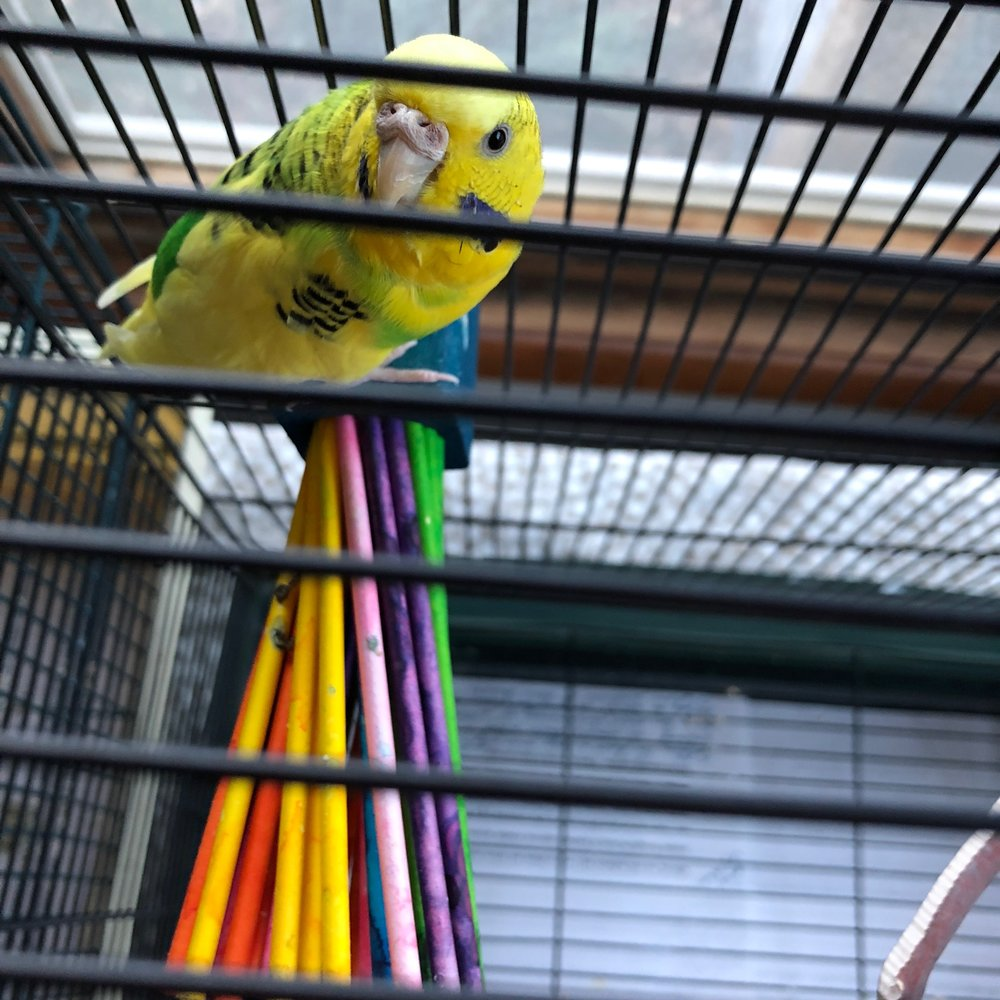 Uzi, the parakeet in question.