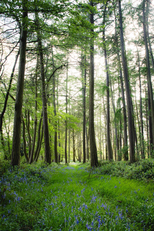 woodland-bluebells-fownhope-hereford