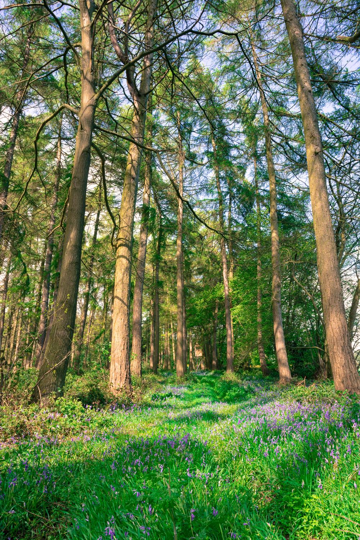 trees-bluebells-fownhope-hereford