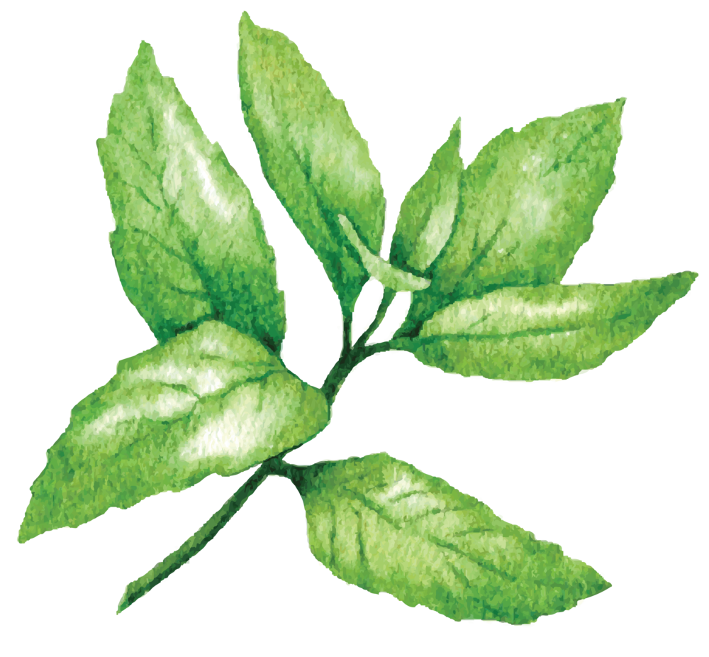 click to learn more about peppermint  -