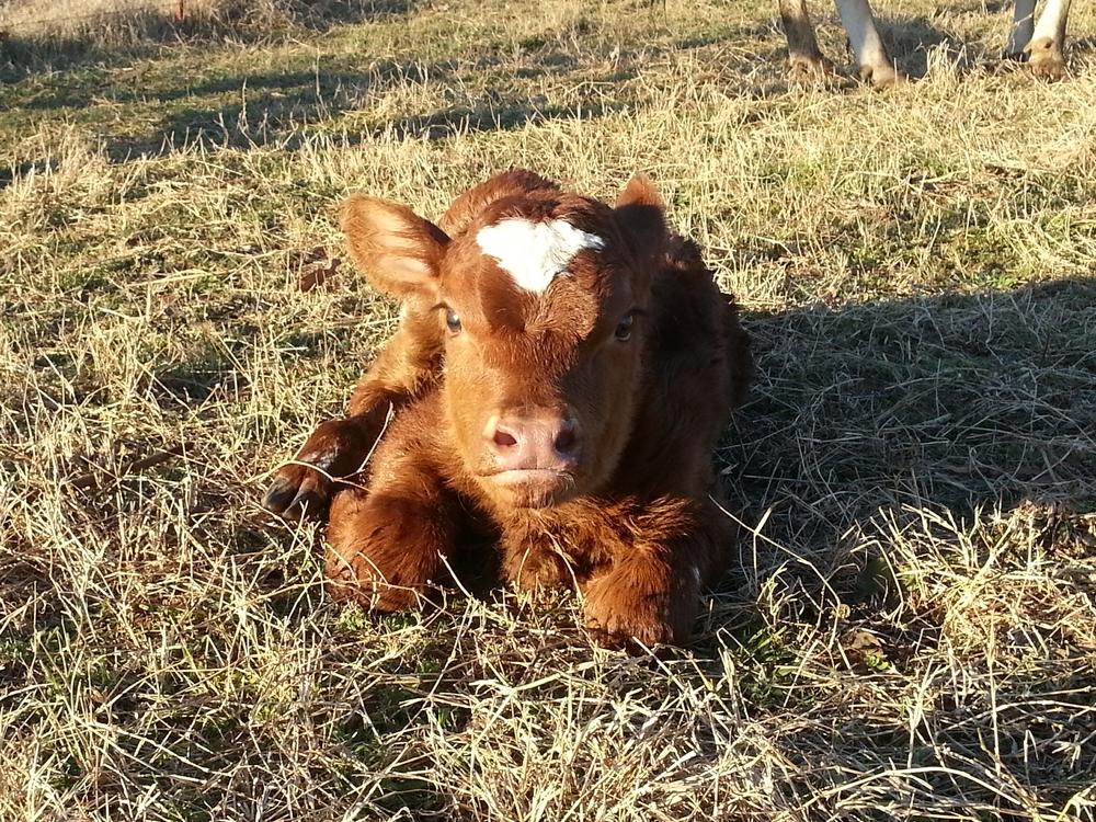 23's heifer.jpg