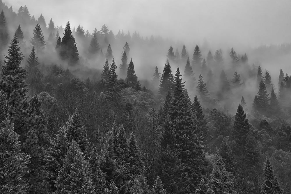 Fog and Pine #1-1.jpg
