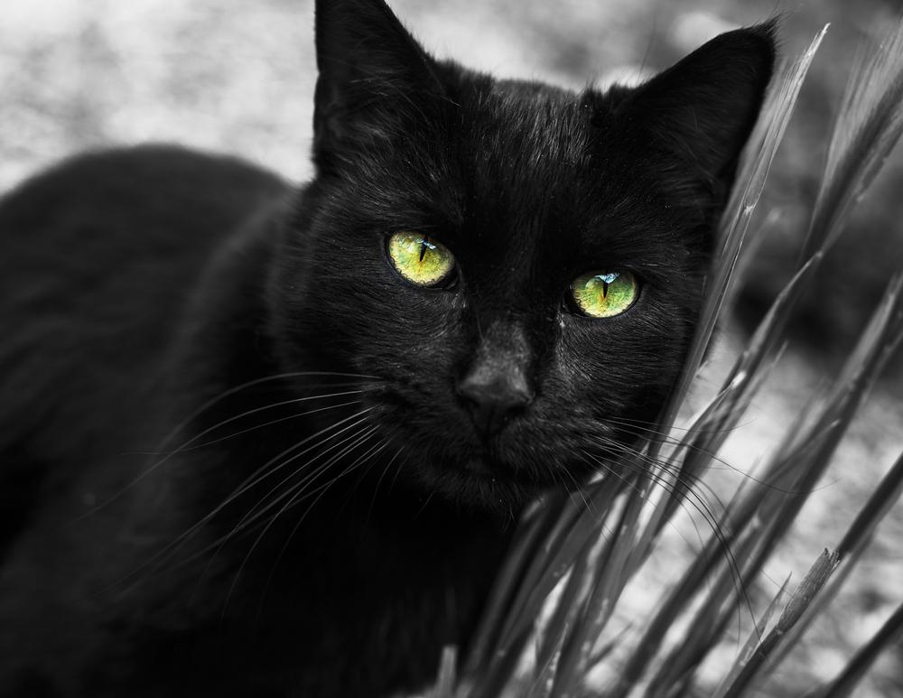 black cat-2.jpg