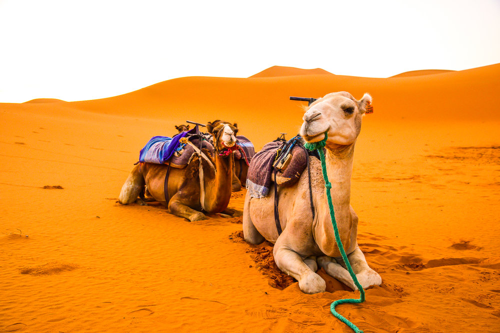 Camel- web-1.jpg