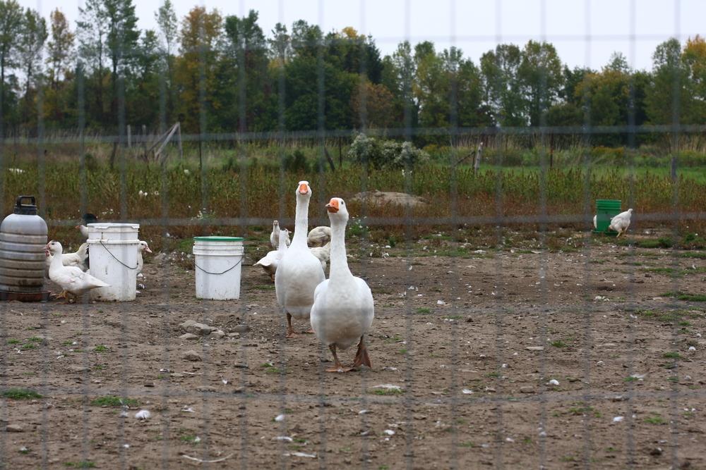 organic_farming_geese