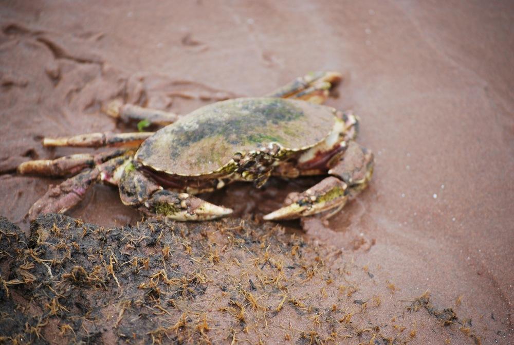 Island crab