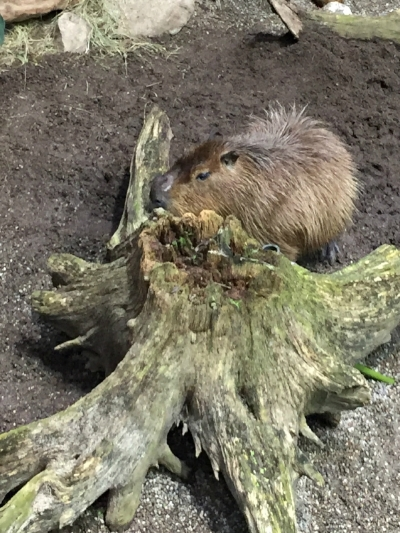 A Capybara calls the Rainforest in Montreal's Biodome home.