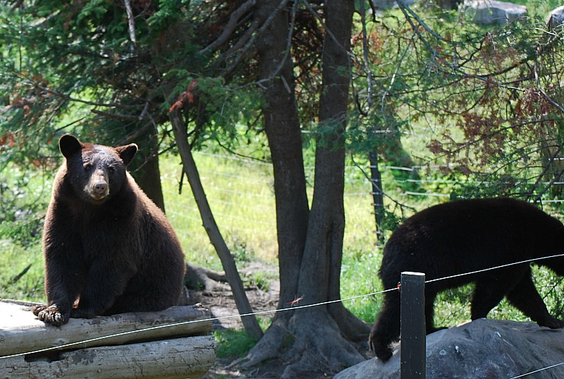 Cinnamon bears