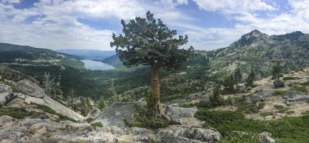 tree_donner_jpg.jpg